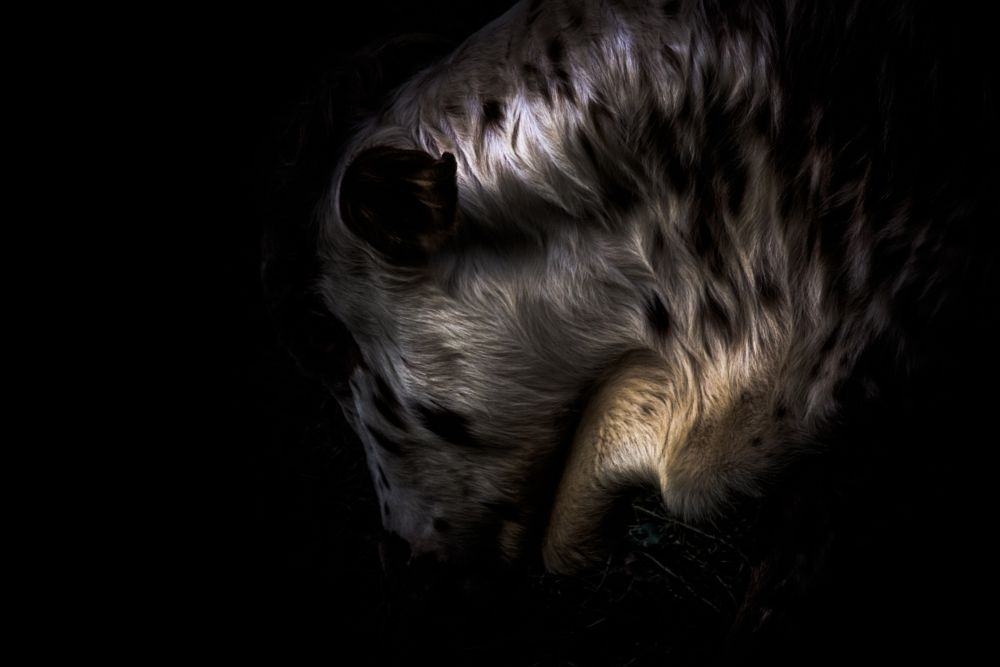 Photo in Animal #zeboe #tiny #cow #farm #animal #zoo #dark #light #fur #close up #shiny #spots #paws #ears #nose