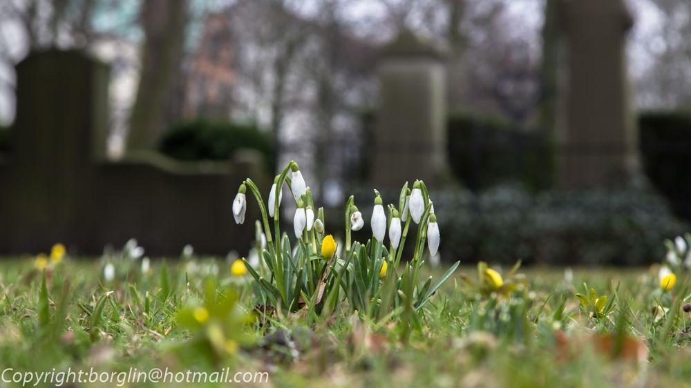 Photo in Nature #vårbild #spring picture #kyrkogård #cemetery #blommor #flower #vårblommor #spring flowers