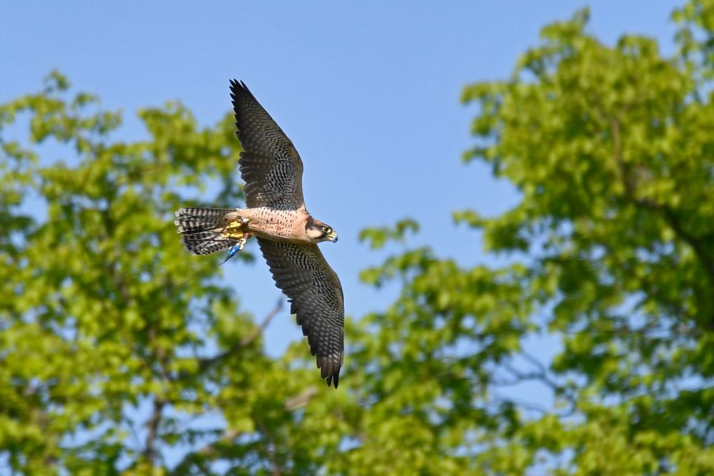 Photo in Nature #falcon #duncombe #bird of prey #nature