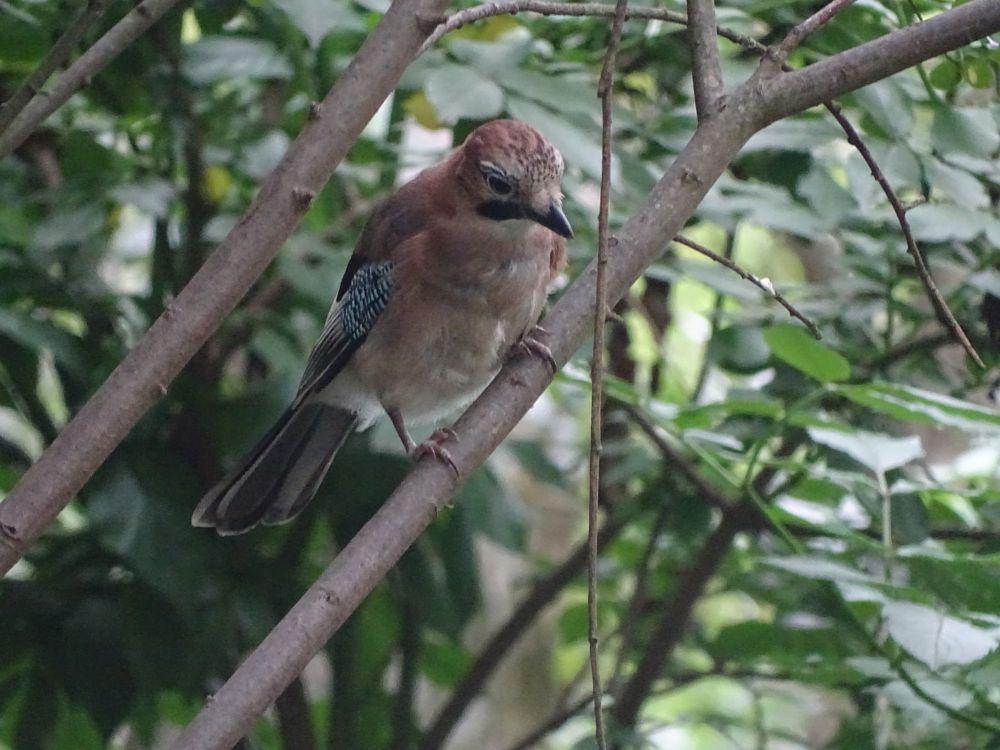 Photo in Nature #jay #bird #nature