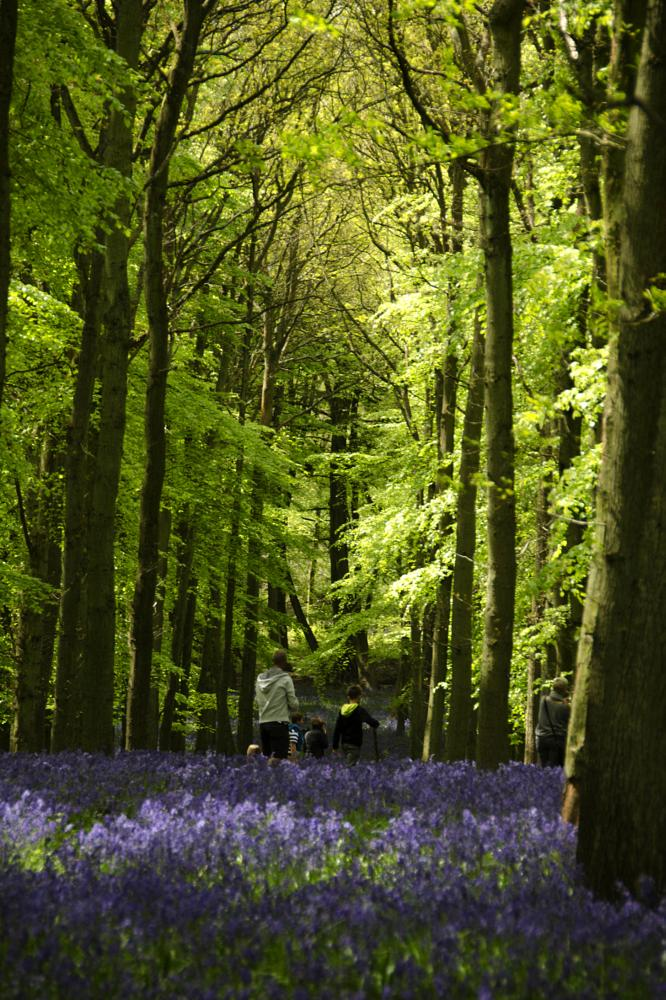 Photo in Nature #woods #flowers #bluebells