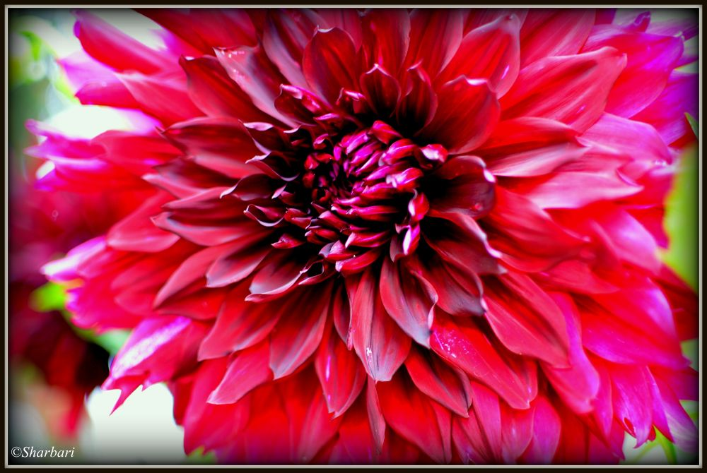 Photo in Nature #flower #pink #bright #nature #vivid #colour #beauty