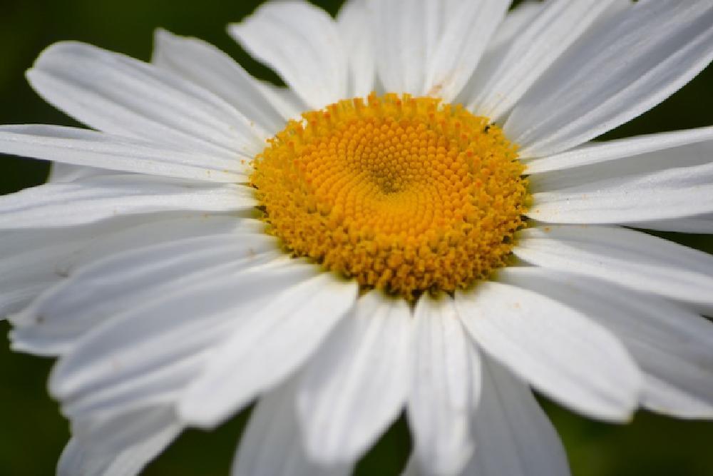 Photo in Nature #flower #daisy #macro #springtime