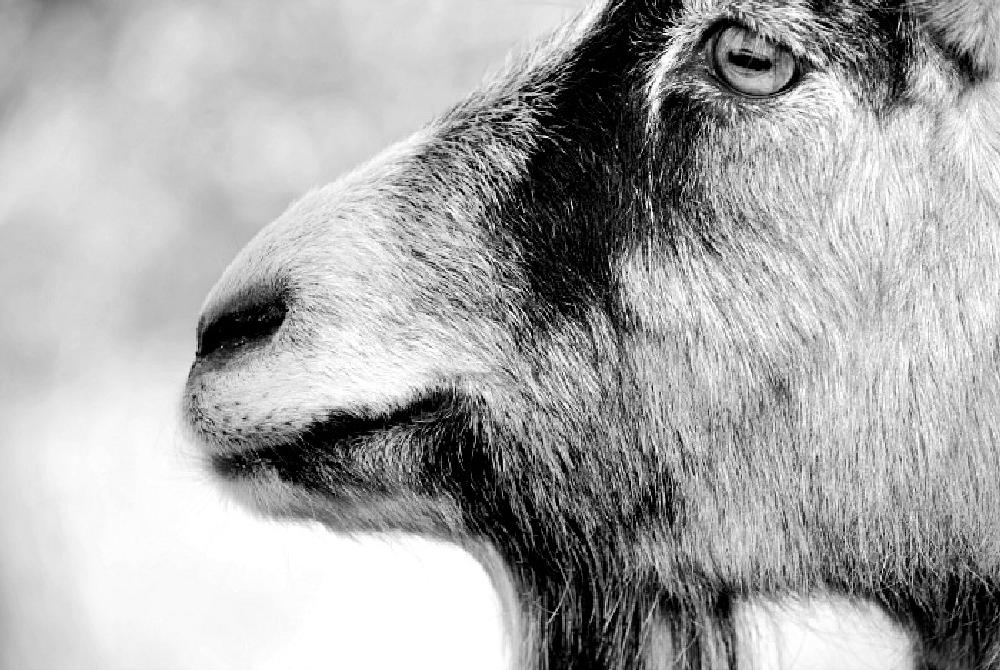 Photo in Animal #animal #goat #black #and #white #beautiful