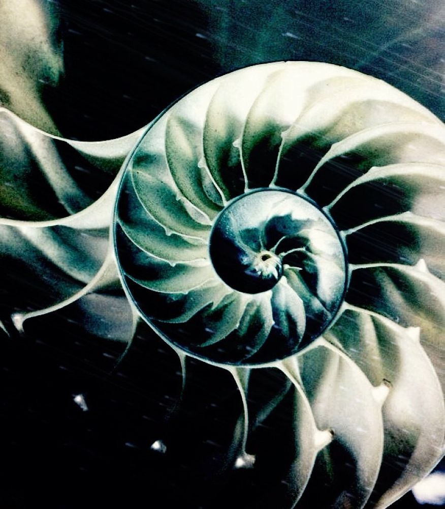 Photo in Abstract #sea shell #conch shell #shell #ocean #treasure #nautilus #geometry #fibonacci spiral #sacred geometry #spiral #nature #art #abstract #modern