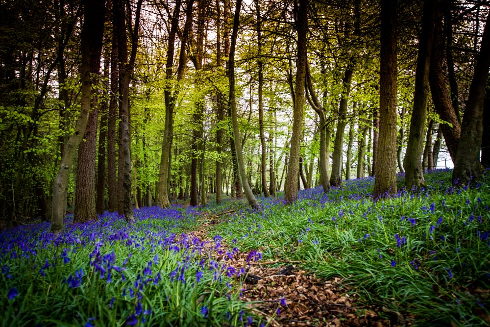 Photo in Landscape #bluebells #forest #nature