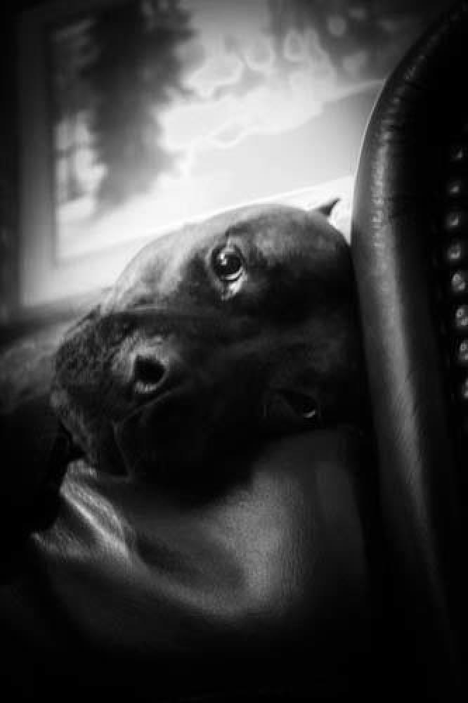 Photo in Black and White #animals #pitbull #black & white
