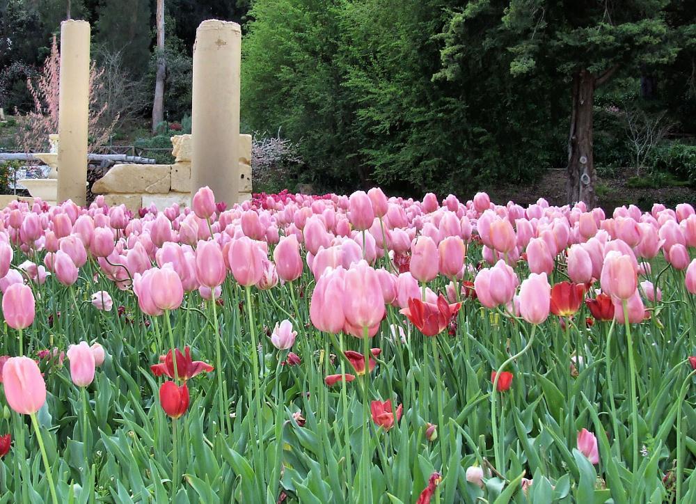 Photo in Nature #araluen #tulip #tulips #perth #western australia #flower #flowers #nature