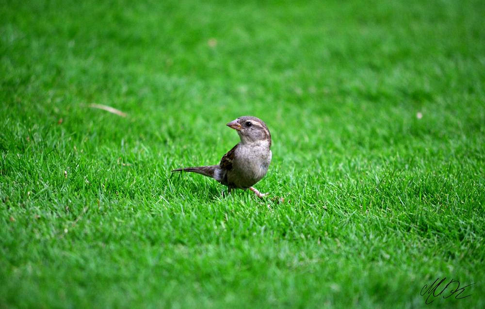 Photo in Animal #sparrow #birds #bird #lawn #garden #zoom