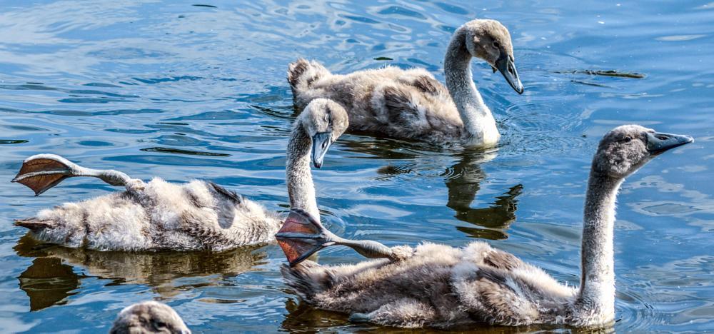 Photo in Nature #cygnets swans baby water swimm #cute sweet babies #rspb birds wildlife