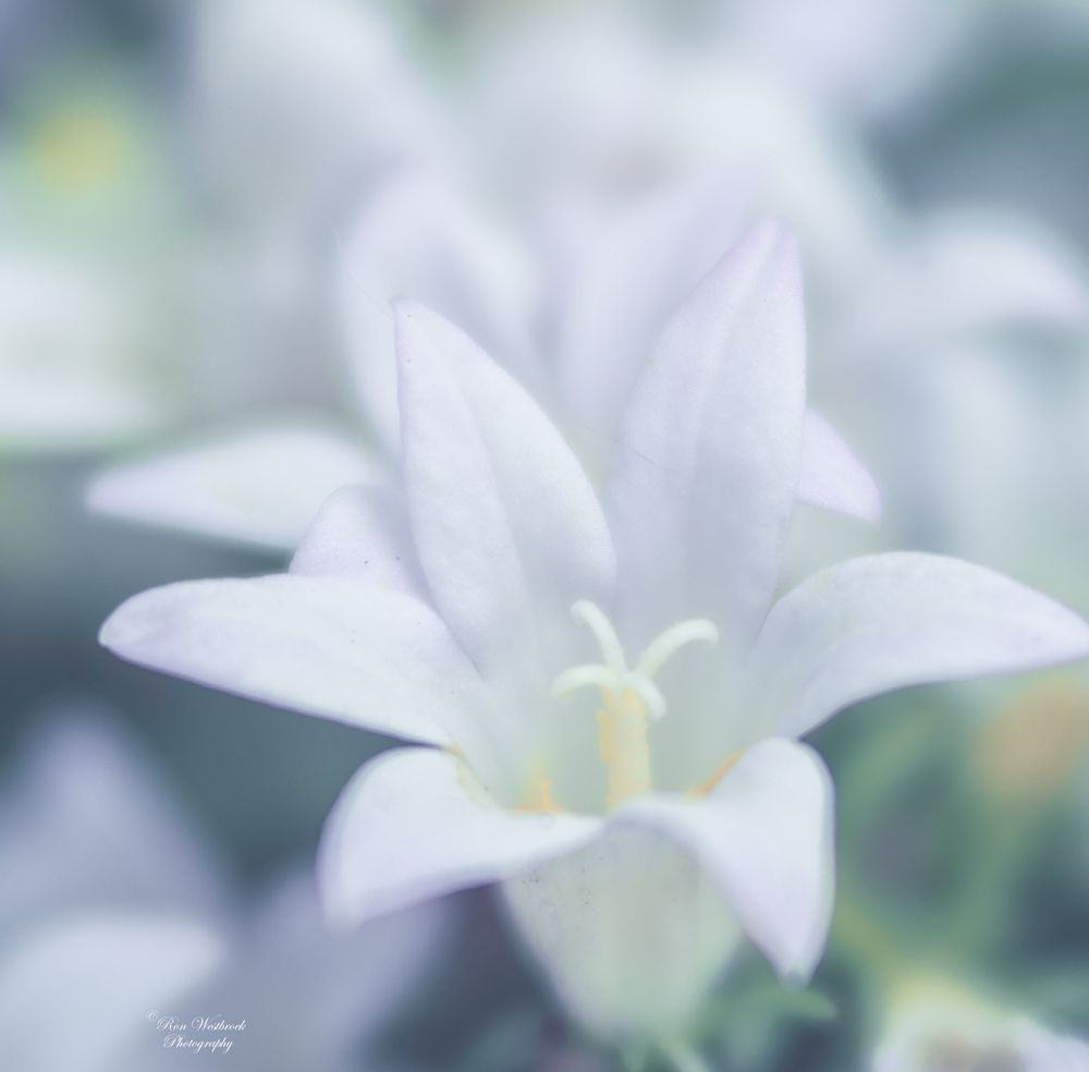 Photo in Nature #campanula #white #nature #olympus
