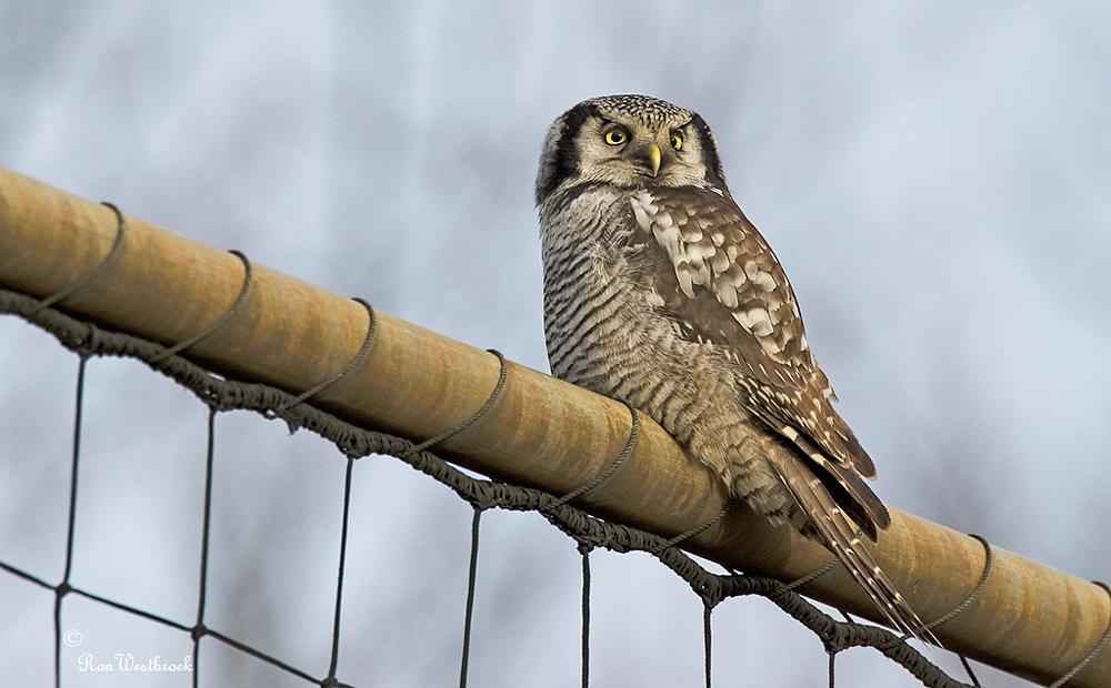 Photo in Animal #surnia ulula #northern hawk owl #bird of prey #finland #zweden #noorwegen #noord-america