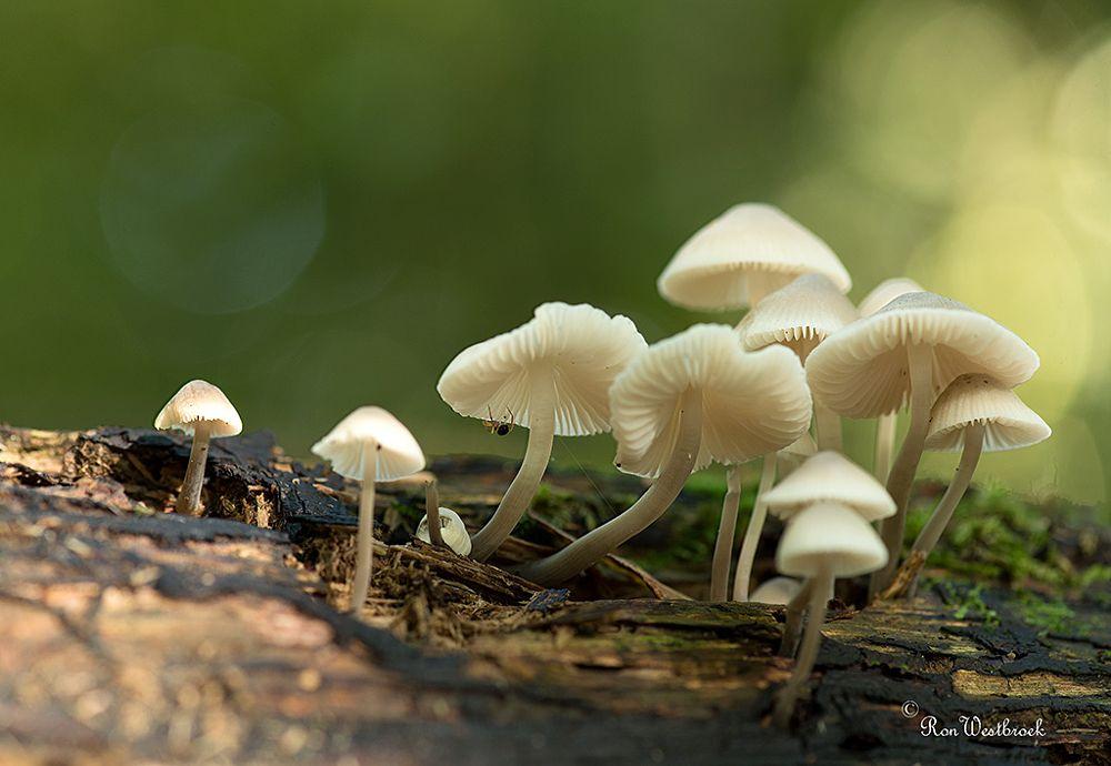 Photo in Nature #bundelmycena #mushroom #fungi #nikon #mycena arcangeliana