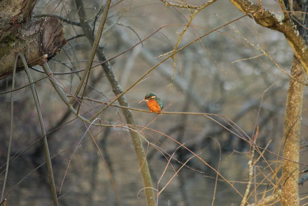 Photo in Animal #kingfisher #bird #nature