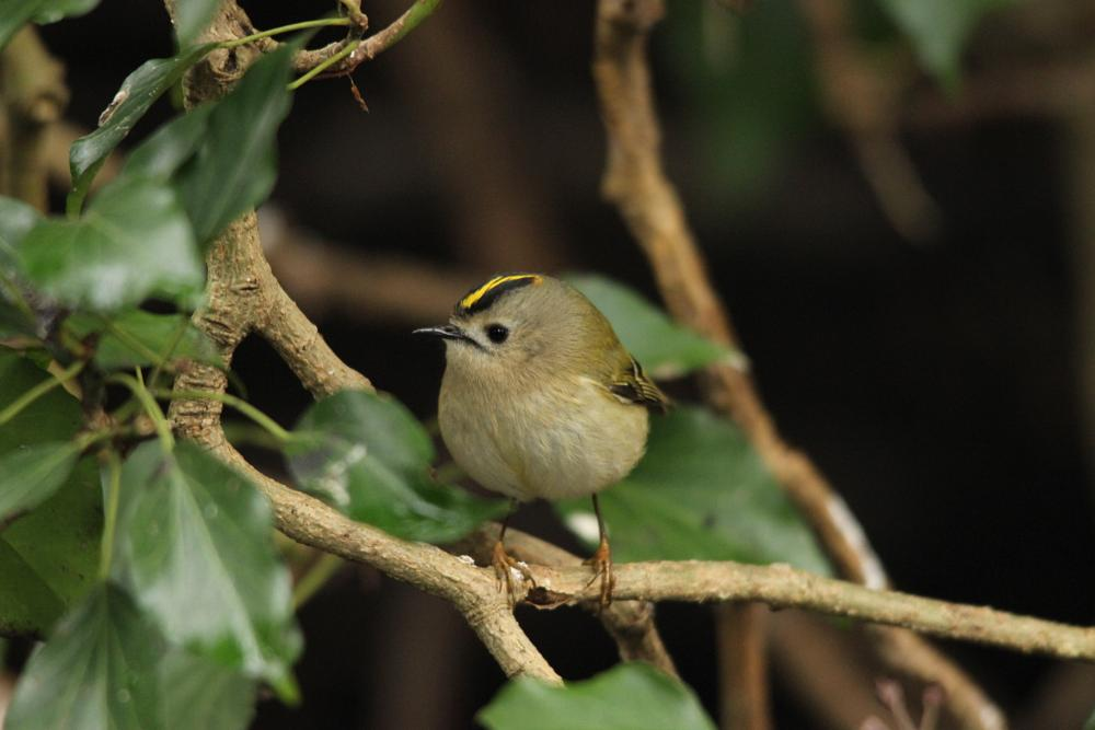 Photo in Animal #goldcrest #birds #nature #wildlife #canon
