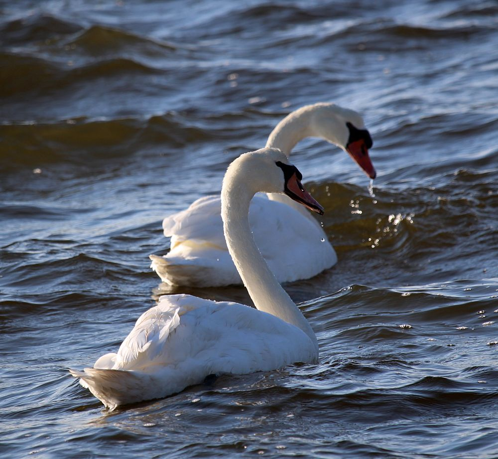 Photo in Animal #swans #animals #birds