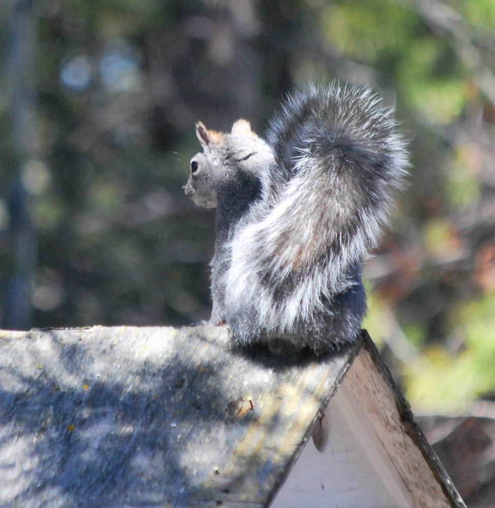 Photo in Animal #silver grey squirrel