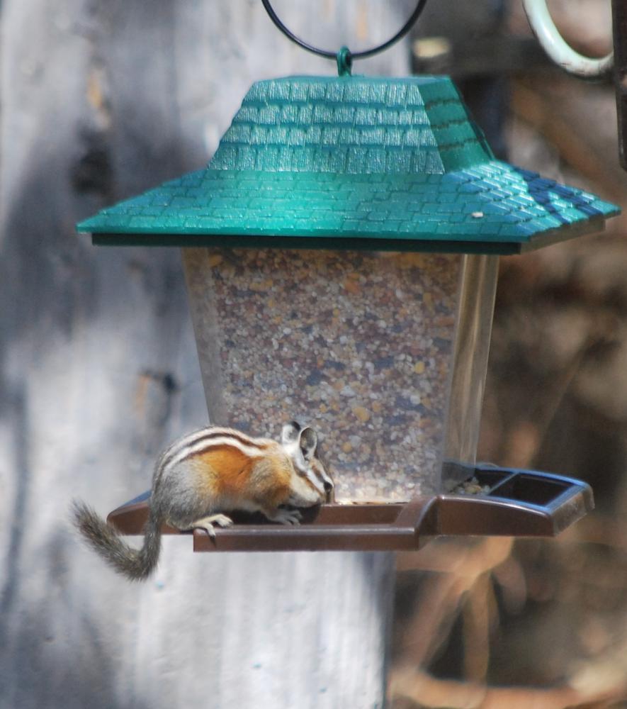 Photo in Animal #bird feeder #chipmonk #color changing