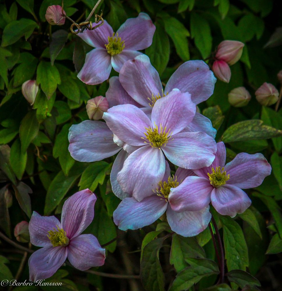 Photo in Nature #nature #close-up #clematis