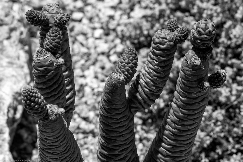 Photo in Black and White #succulent #plant