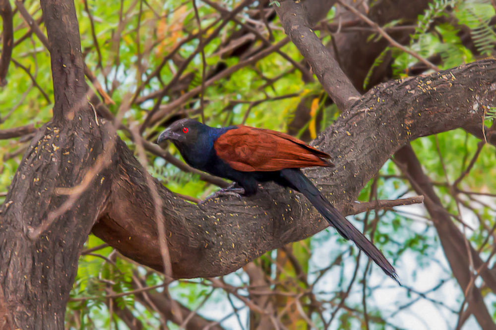 Photo in Animal #ypa2013 #birds #birdsphotography #greatercoucal #india #photography #nature