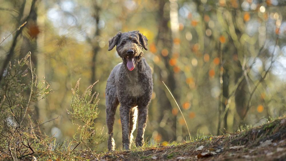 Photo in Animal #australian labradoodle #dog #animal #grey #natural light #bokeh #breath