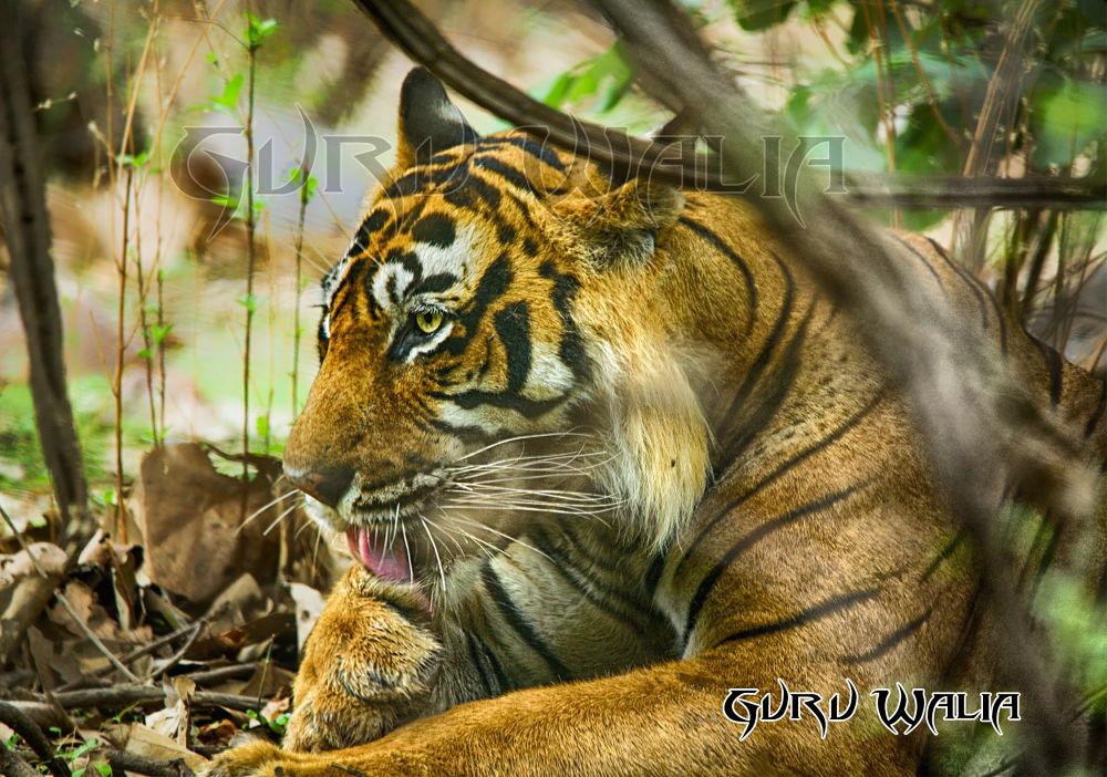 Photo in Animal #guru walia #tiger #lion #wildlife #animals #dangerous animal #maneater #killer tiger #13 deaths #t24 #ranthambore #sawai madhopur #rajhasthan #guru #photography