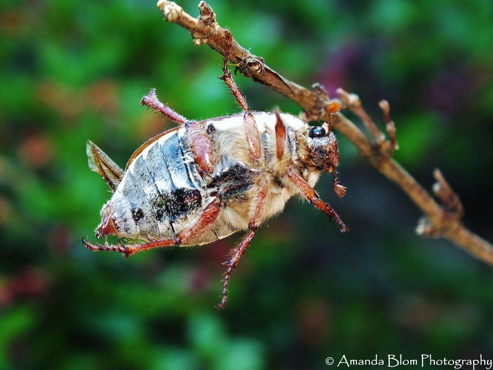 Photo in Random #beetle #macro #fuji hs20 #raynox #nature #twig #ypa2013