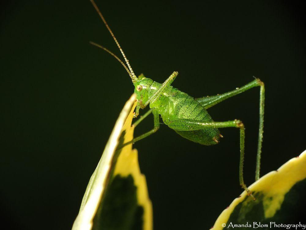 Photo in Macro #macro #insect #raynox #fujifilm #grasshopper #close #close-up #leaf #ypa2013