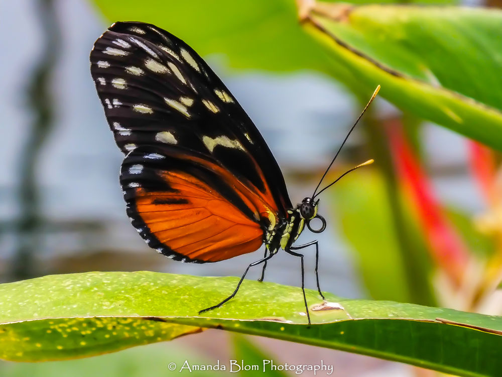 Photo in Macro #ypa2013 #macro #butterfly #tongue #nature #leaf #red #wings #close-up