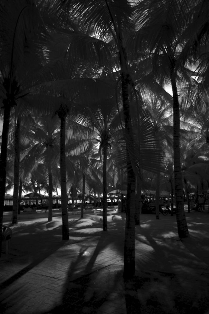 Photo in Black and White #coconut tree #nature