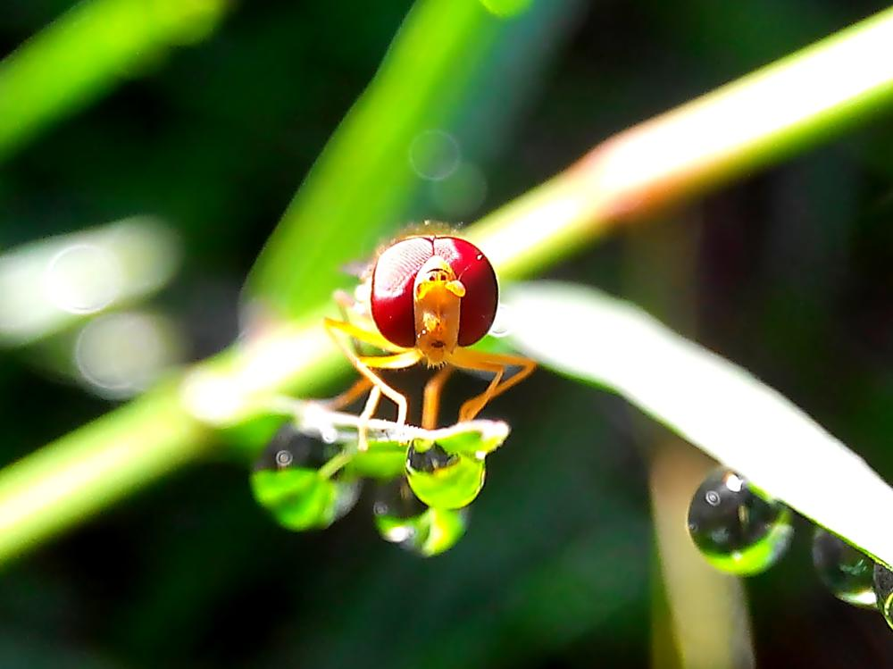 Photo in Macro #macro #phone photography #nature #flies #insects #hoverfly