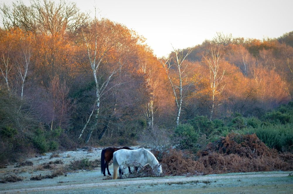 Photo in Landscape #ponies #new forest #frosty #landscape #winter #sunlight #trees