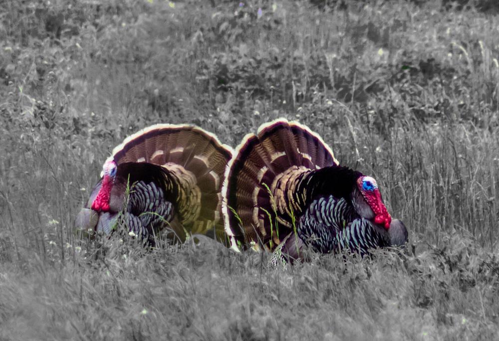 Photo in Nature #turkey #animal #nature #birds