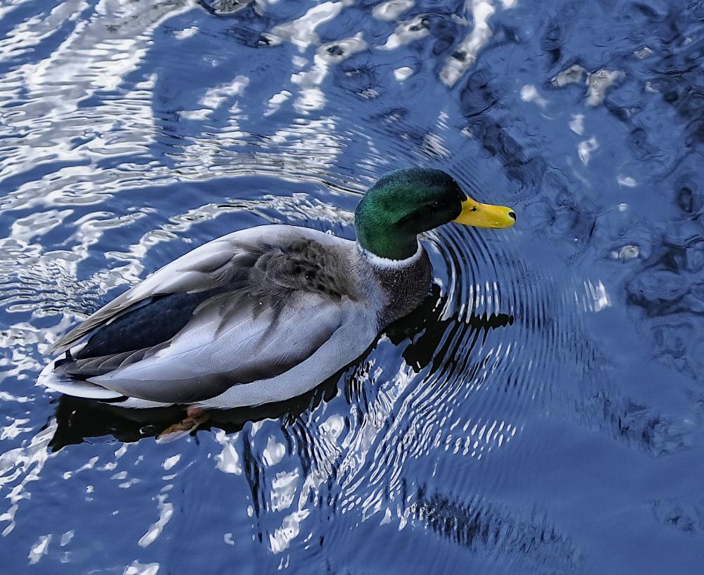 Photo in Animal #duck #male duck #duck swimming