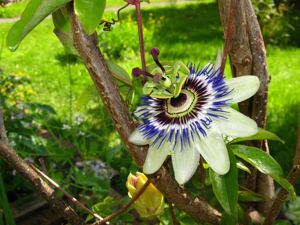 Photo in Macro #passion #flower #garden