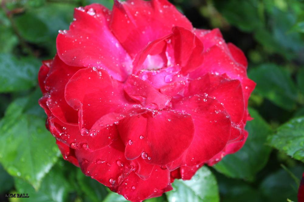 Photo in Macro #flower #rose #macro #water