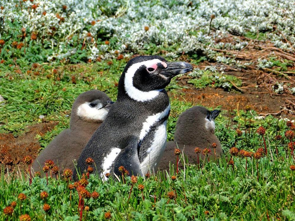Photo in Animal #pinguins #punta arenas #chile