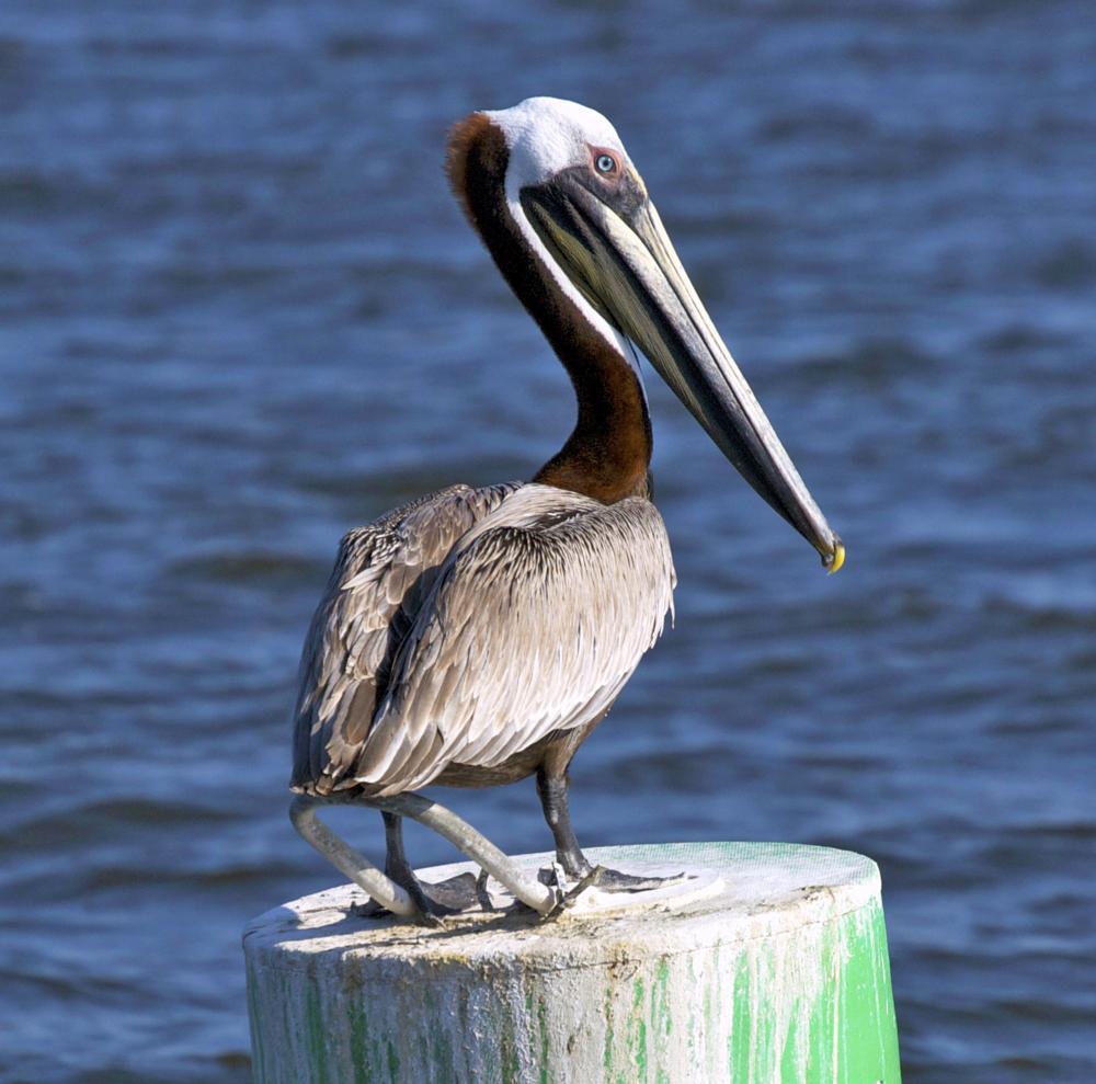 Photo in Animal #pelican #bird #water #nature