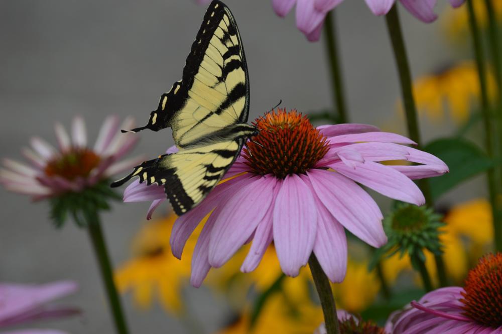 Photo in Macro #butterfly #bud #macro #pink #yellow #orange