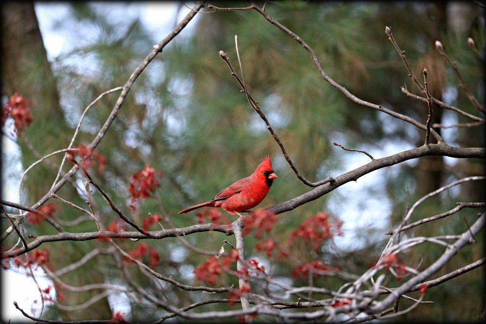 Photo in Animal #color #nature #light #texture #cardinal
