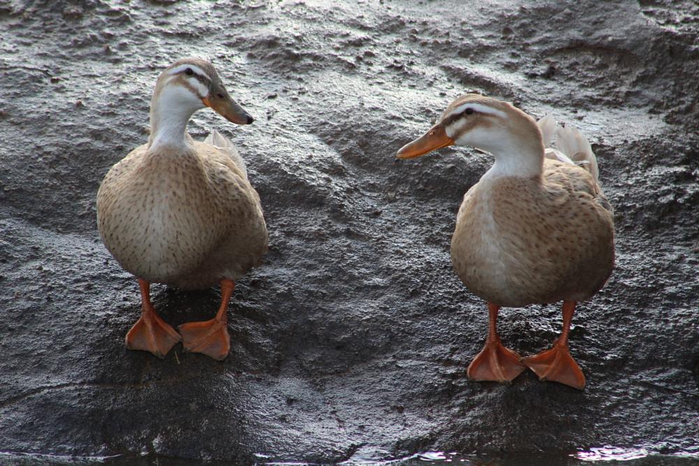 Photo in Animal #ducks #birds #wildlife #linvilla