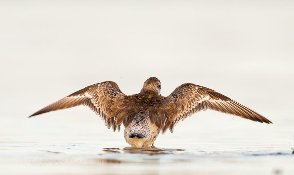 Photo in Animal #sharp tailed sandpiper #wader #australia #nsw south coast