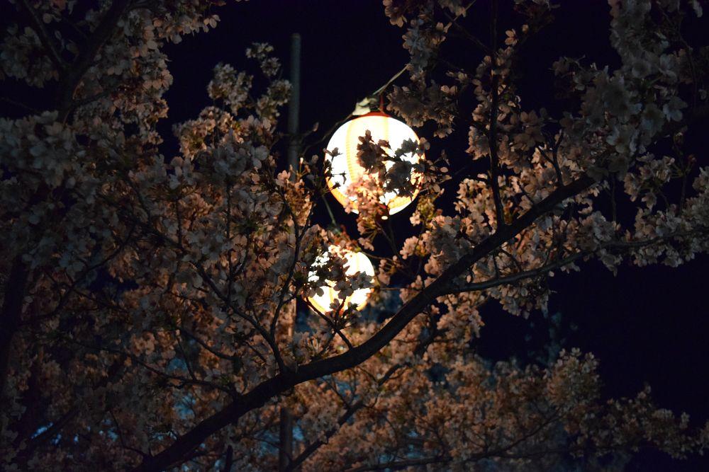 Photo in Random #twilight #sakura #cherry blossom #japan #spring