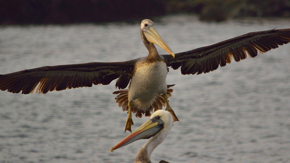 Photo in Animal #pelicans #caleta barranquilla #pacific ocean #atacama desert #chile