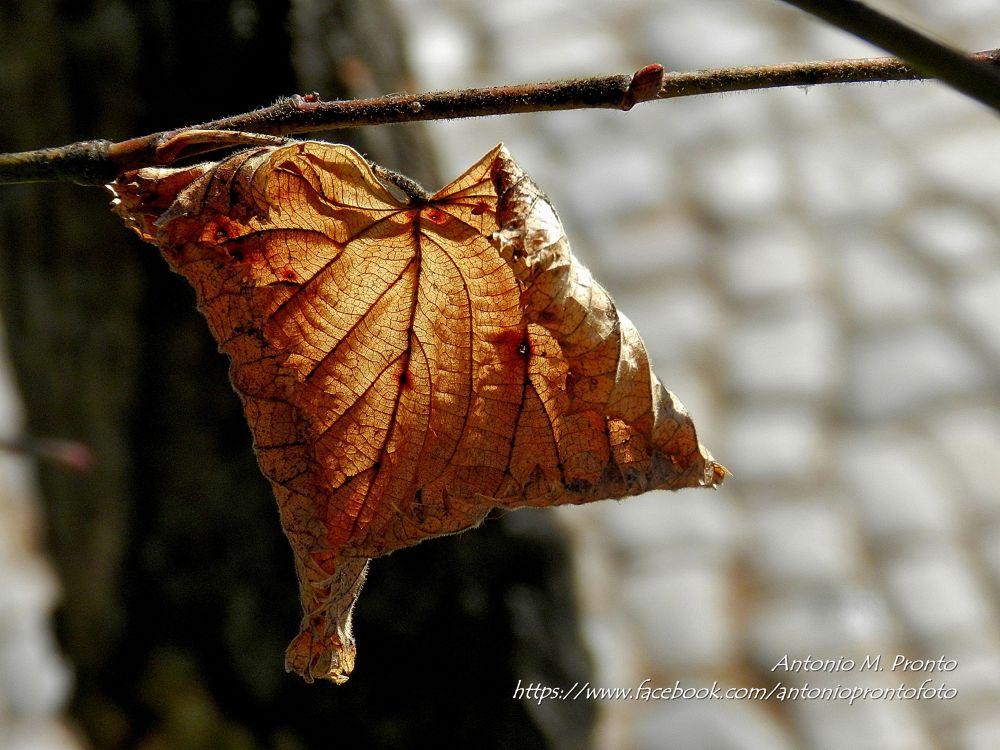 Photo in Still Life #nature #natureza #autumn #outono #acer #dourado #golden #amarelo #yellow #ypa2013 #still life #tomber #caer #naturaleza muerta #natureza morta #wallpaper #papel de parede