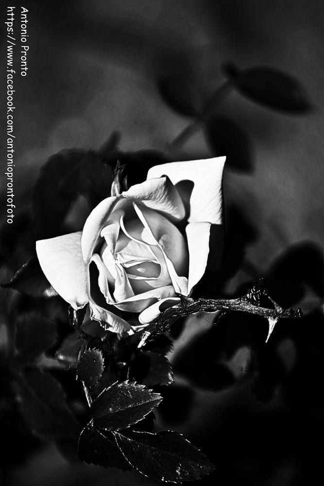 Photo in Black and White #rose #rosa #ypa2013 #nature #natureza #black and white #preto e branco #jardim #garden #roseira #rosebush #fleur