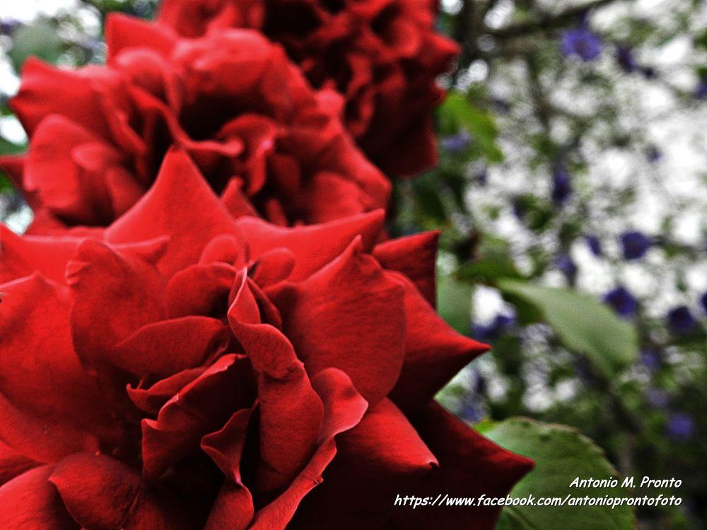 Photo in Nature #rose #rosa #nature #natureza #red #vermelho #flor #flower #garden #jardim #ypa2013 #spring #primavera #fleur #wallpaper #papel de parede #close-up