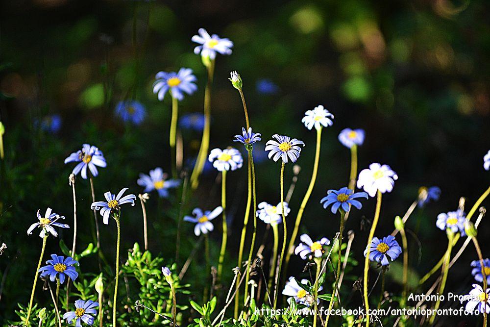 Photo in Random #blue #azul #natureza #nature #flor #flower #margarida #marguerite #ypa2013 #spring #primavera #fleur #wallpaper #papel de parede