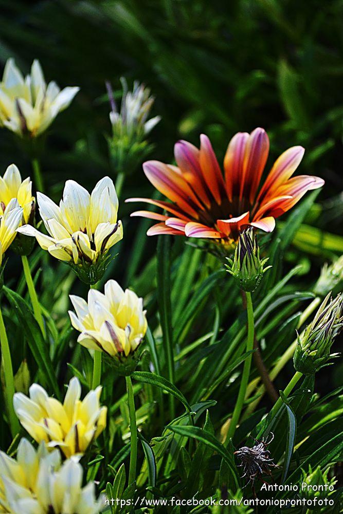 Photo in Nature #flor #flower #natureza #nature #margarida #daisy #white #branco #orange #laranja #garden #jardim #ypa2013 #spring #primavera #fleur